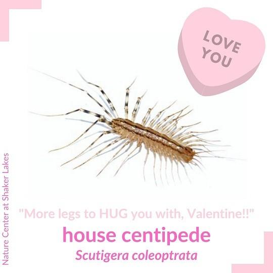 Centipede Valentine