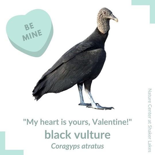Vulture Valentine